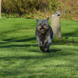 Run Butchie Run! by Julie Reeves - Animals - Dogs Running ( gray dogs, schnauzers, senior dogs )