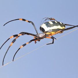 Golden Orb Web Weaver - Hitching a Ride by Dries Alberts - Animals Insects & Spiders ( insect, backdrop, love, poisonous, danger, nature, iconic, toxic, wonder, humor, spider, black, markings, scary, wild, affection, symbol, majestic, white, symbolic, poison, fun, magnificent, hitch a ride, outdoors, arachnid, adorable, golden, piggy back, ride, captivate, unique, colorful, splendor, screensaver, wildlife, hilarious, cute, romance, life, spider background, fearful, africa, inspire, mesmerize, classic, icon, toxins, beautiful, funny, web, dangerous, fantastic, represent, golden orb web weaver, pattern, color, blue, background, hitch, mating, mate, fear )