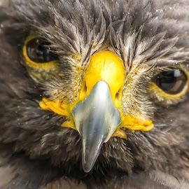 Hawk by Ernesto Sanchez - Animals Birds