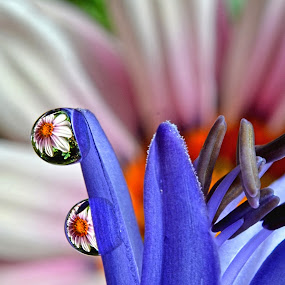 by Margie MacPherson - Nature Up Close Natural Waterdrops ( macro, water drops, daisy, agapantha,  )