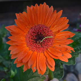 Let's See How Much I Can Eat by Ed Hanson - Flowers Single Flower ( orange, nature, green, bug, close-up, flower )
