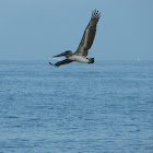 Brown Pelicans diving for fish