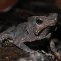 Crested Forest Toad