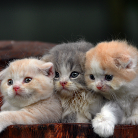 by Cacang Effendi - Animals - Cats Kittens ( cattery, kitten, chandra, animal.cats )