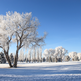 White Wyoming by Stacey Cannon - Landscapes Prairies, Meadows & Fields ( winter, cold, snow, wyoming, frost, trees, hoarfrost )