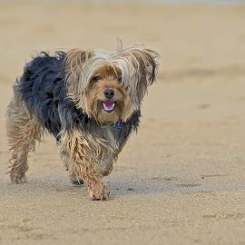 Isla on the Beach... by Martha Pope - Animals - Dogs Running ( yorkshire terrier, adopt, foster, rescue, sea, puppy, ocean, beach, dog )