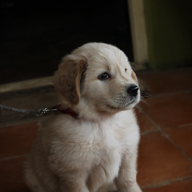 Gippe by Pd Sridhara - Animals - Dogs Puppies ( gippe )
