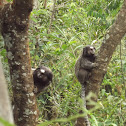 Wied's Black-tufted-ear Marmoset