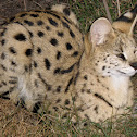 The serval Cat. Tiger Forest Cat