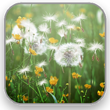 Dandelion Field Live Wallpaper