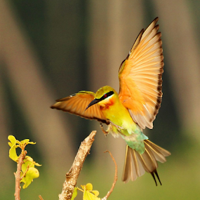 Got a place to sit.....Blue-tailed Bee-eater - Landing by Nithya Purushothaman - Animals Birds