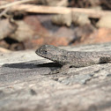 Eastern Fence Lizard (Juvenile; mite-infested)
