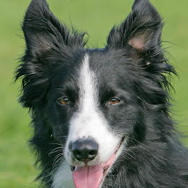 Jake by Lynda Snowling - Animals - Dogs Portraits