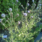 Sheep thistle