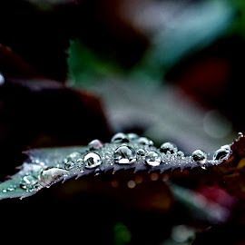 Rose leaf after the rain by Mark Luftig - Nature Up Close Leaves & Grasses ( water, rose, drops, leaf, purp;e )