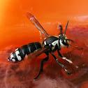 Bald-faced Hornet Queen