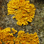 Liquen Naranjo / Common Orange Lichen