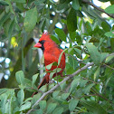 Red Bird or Cardinal
