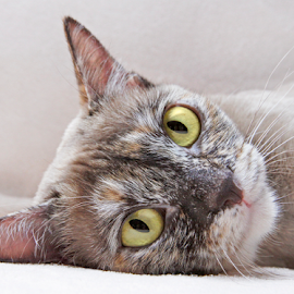Burmese Peppi by Mia Ikonen - Animals - Cats Portraits ( resting, finland, lovely, cute, burmese,  )