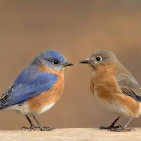 Bluebird Pair by Jack Nevitt - Animals Birds ( bluebird, pair, couple )