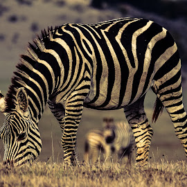 Zebra on Big Sur by David Long - Animals Other Mammals ( zebra )