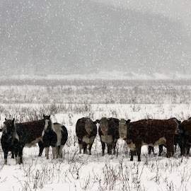Winter Feed Lot by Stephanie Dibble - Animals Other Mammals