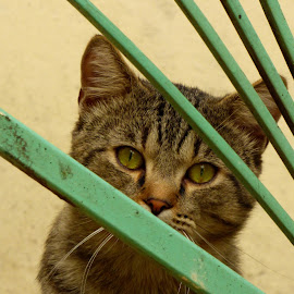 Green eyes by Florence Guichard - Animals - Cats Portraits ( cat, green, portrait, eyes, animal )