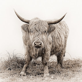 Wet Highland Cow by Alex Graeme - Animals Other ( highland cow )