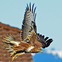 Common Buzzard - Buse variable