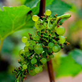 Grapes by Sanil Photographys - Food & Drink Fruits & Vegetables ( eatable, fruit, sanil photography, nature, grapes, fruits, linsaworld, myfocuz )