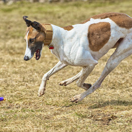 by Don Martin - Animals - Dogs Playing ( greyhound,  )