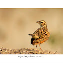 THE INDIAN BUSH LARK or RED-WINGED BUSHLARK