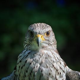 Gyrfalcon by Johannes Oehl - Animals Birds ( bird, uk, falco rusticolus, great britain, dunrobin castle, gyrfalcon, schottland, gerfalke, united kingdom, gb )