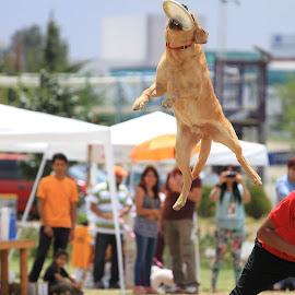 frisbee by Daniel Arjona - Animals - Dogs Playing ( dogs, saltando, perro, labrador, frisbee )