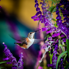 Allen's Hummingbird by Ken Wade - Animals Birds ( hummingbird, salvia, allen's hummingbird, selasphorus sasin, bird in flight )