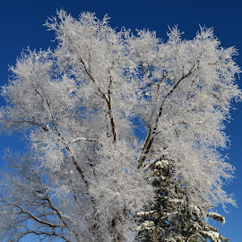 Hoar frost. by Denton Thaves - Nature Up Close Trees & Bushes ( hoar, freeze, frost )