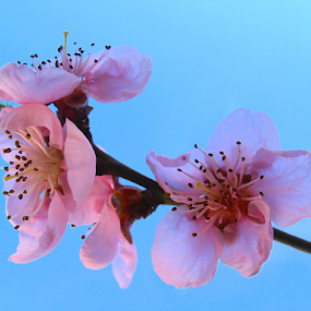 Peach blossoms by Snezana Petrovic - Flowers Tree Blossoms ( stamens, petals, colorful, peach, spring, blossoms, pure, macro, nature, snezana petrovic, horizontal, pink, garden )