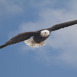 Bald Eagle Soaring by Martin Belan - Animals Birds ( iowa, eagle, nature, mississippi river, bald eagle, wildlife, raptors )