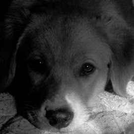 puppy dog eyes by Floranda Rene - Animals - Dogs Puppies ( 3, 2, 1, 5, 4, black and white, animal )