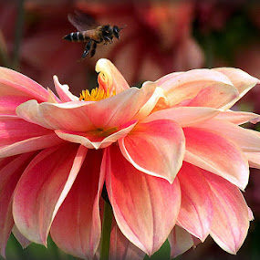 Beauties of Nature by Protim Banerjee - Flowers Single Flower ( nature, beauty, honeybee, flower )