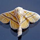 Mimallonid moth