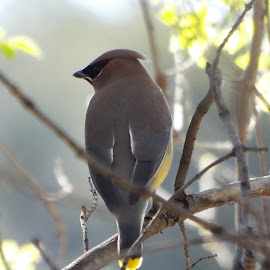 Cedar Waxwing by Donna Probasco - Novices Only Wildlife (  )