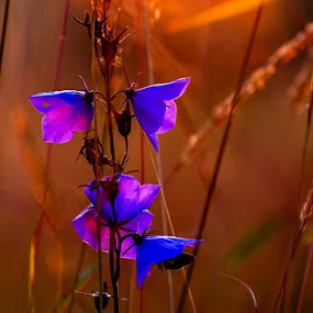 © Costel Ciobanu by Costel Ciobanu - Flowers Flowers in the Wild