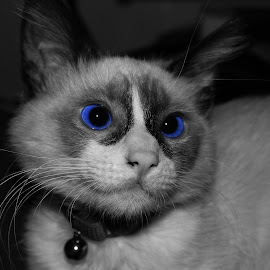 Princess Sophia by Danielle Benbeneck - Animals - Cats Kittens ( kitten, cat, selective colour, selective color, black and white, blue eyes, siamese, eyes )