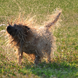 Cooldown by Snickers Oakes - Animals - Dogs Playing ( water, playing, wet, dog, spring )