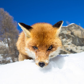 Fox in the snow by Pietro Ebner - Animals Other Mammals (  )