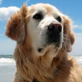 Squirt at the beach Corolla,NC by John Clark - Animals - Dogs Portraits ( #obx, #beach, #goldenretriever )