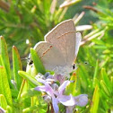 Oak Hairstreak Butterfly