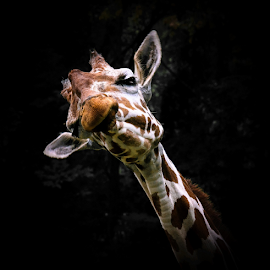 Goofy by Gregg Pratt - Animals Other Mammals ( giraffe )