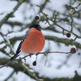 Bullfinch in winter setting by Fred van Maurik - Animals Birds ( winter, sigma, snow, sneeuw, gimpel, bullfinch, pyrrhula pyrrhula, tripod, nikon, goudvink, berries, m3--photo )